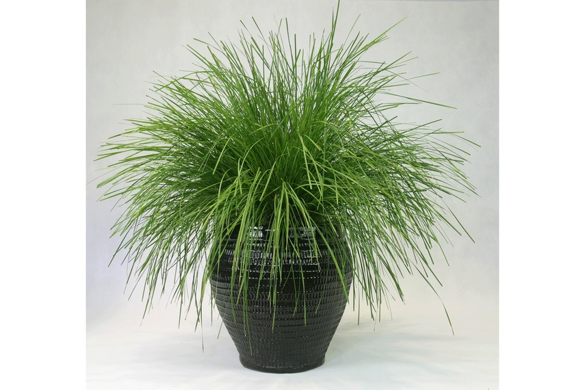 An excellent alternative to a grass tree that looks great in pots and planter boxes