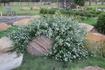 A tough and beautiful ground cover shrub