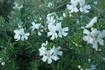 MundiTM Westringia has masses of small white flowers