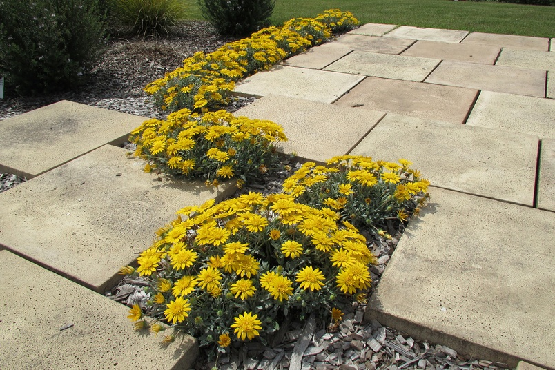 Gazania Double Gold Plant By Ozbreed Selector