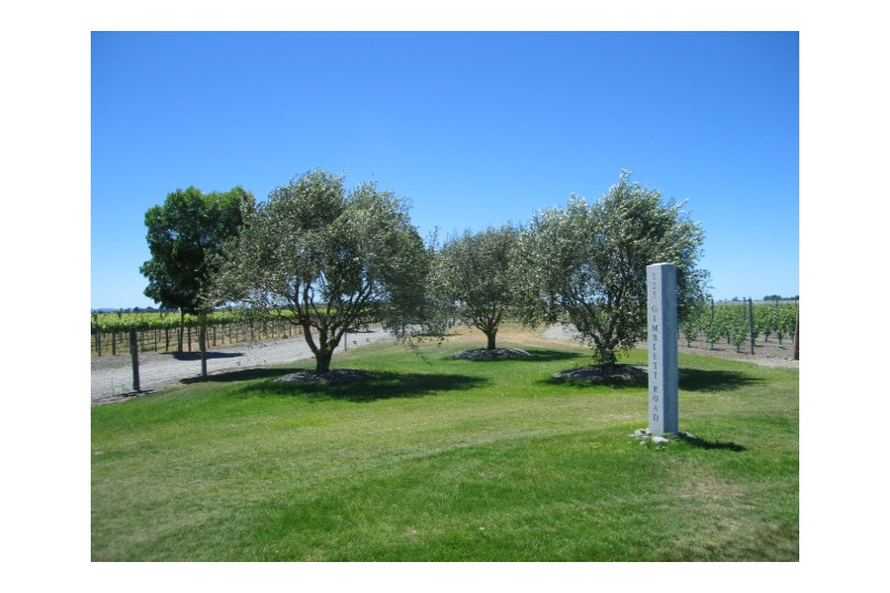 Transplanted Olive trees planted at Blake Family Vineyard, Hawkes Bay