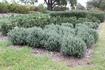 Grey BoxTM looks great planted en masse